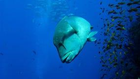 Napoleon wrasse at shark reef Stock Image