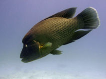 Napoleon wrasse swimming Stock Photo