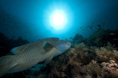 Napoleon wrasse and tropical underwater life. Stock Images