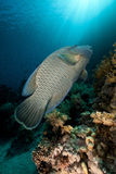 Napoleon wrasse and tropical underwater life. Royalty Free Stock Photos