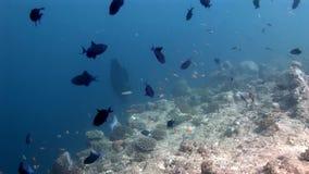 Napoleon y escuela del wrasse y de los buceadores de los pescados subacuáticos en el fondo del mar almacen de metraje de vídeo