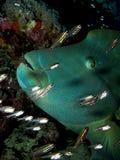 Napoleonfish Photos stock