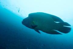 Napoleonfish Lizenzfreie Stockfotografie