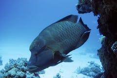 Napoleonfish Royalty Free Stock Photos