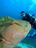 Napoleonfish Stockbild