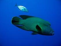 Napoleonfish & tonno rosso Trevally Immagini Stock