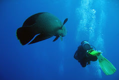 Napoleonfish and Diver. Swimming Together, Ras Mohammed, Egypt Royalty Free Stock Images