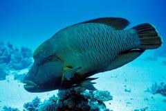 Napoleonfish Stock Photos