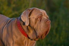 Napolitaanse mastiff Royalty-vrije Stock Afbeelding