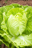 Nappa Cabbage Stock Photography