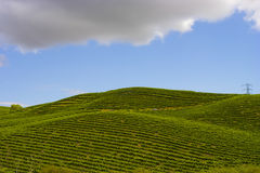 Nappa Vineyards in Summertime. On an early afternoon Royalty Free Stock Images