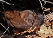 Napping норка Стоковое Фото