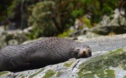 Napping уплотнение в Milford Sound стоковые изображения rf