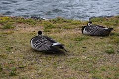 Napping barnacle geese by the bay royalty free stock photography