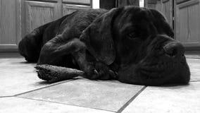 Napping Cane Corso relaxes with horn royalty free stock photos