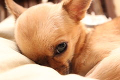 Napping Chihuahua Stock Photo