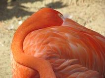 Napping flamingo closeup royalty free stock photography