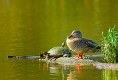 Napping With Friends. A female mallard duck and a few red-earred slider turtles napping on a log Stock Images