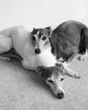 Napping Greyhounds Royalty Free Stock Photography