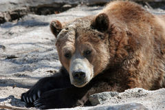 Napping Grizzly. A lazy grizzly bear taking a nap Stock Image