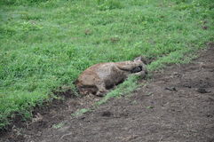Napping hyena Royalty Free Stock Image