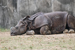 Napping  Indian Rhinoceros Royalty Free Stock Photo