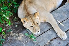 Napping Lioness Royalty Free Stock Images