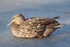 Napping mallard duck Stock Image
