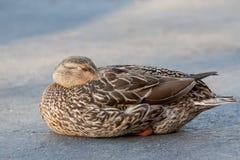 Napping mallard duck Royalty Free Stock Photo