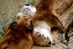 Napping Otters Stock Photography