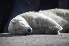 Napping Polar Bear. Male Polar Bear at the local zoo, sleeping Royalty Free Stock Images