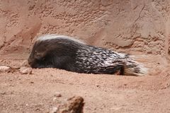 Napping Porcupine in the Phoenix Zoo. This is a photo of a napping porcupine taken at the Phoenix Zoo in Arizona while I was on vacation February 2017 Stock Photo