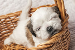 Napping Shih tzu puppy Stock Photography
