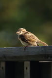 Napping sparrow Royalty Free Stock Photo