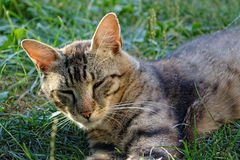 Napping tomcat Stock Images