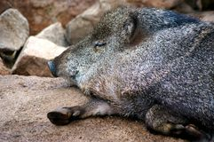 Napping Warthog Royalty Free Stock Photography