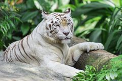 Napping White Tiger royalty free stock image