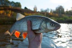 Naprawdę duży kleń w rybak ręce Fotografia Stock