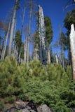 Naprawdę palący wysocy drzewa obrazy royalty free