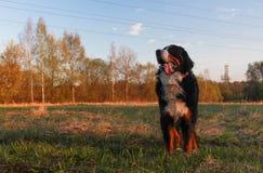 Naprawdę Piękny Bernese góry pies Wielki pies - Bernese góry pies! Obrazy Stock