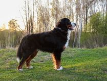 Naprawdę Piękny Bernese góry pies Wielki pies - Bernese góry pies! Zdjęcia Stock