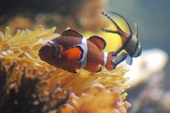 Naprawdę Piękny Clownfish i Inny Pływać Podwodny Obraz Stock