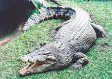 Naprawdę dziki australijski krokodyl Zdjęcia Stock