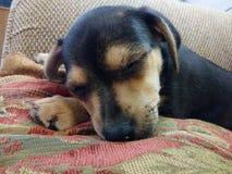 Naptime для щенка Feist стоковые фото