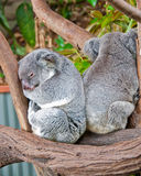 Two Sleepy Koala Bears, Australia Royalty Free Stock Photos