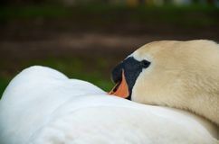 Naptime for Swan Stock Photos