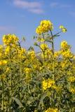 Napus de brassica de graine de colza fleurissant dans la campagne d'East Sussex près du verger de bouleau photos stock