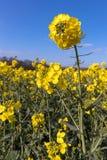 Napus de brassica de graine de colza fleurissant dans la campagne d'East Sussex près du verger de bouleau image stock