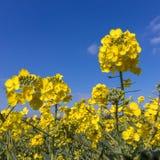 Napus de brassica de graine de colza fleurissant dans la campagne d'East Sussex près du verger de bouleau photographie stock