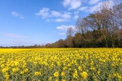 Napus de brassica de graine de colza fleurissant dans la campagne d'East Sussex près du verger de bouleau images libres de droits